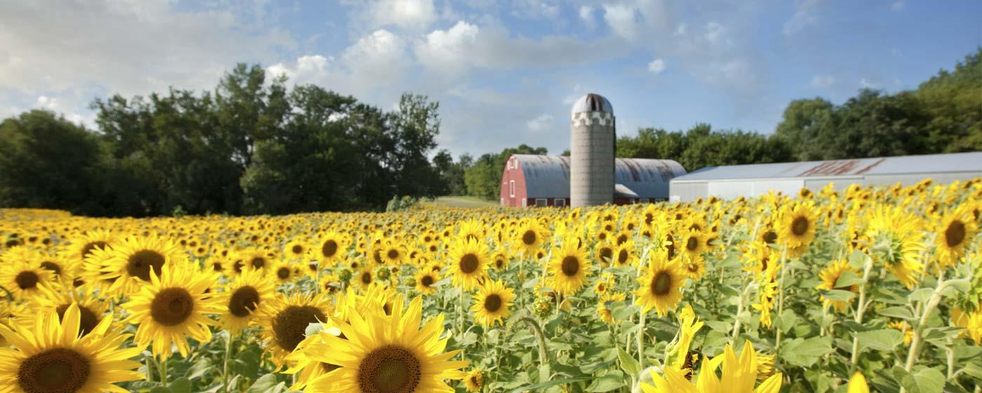 Sunflowers with Barn