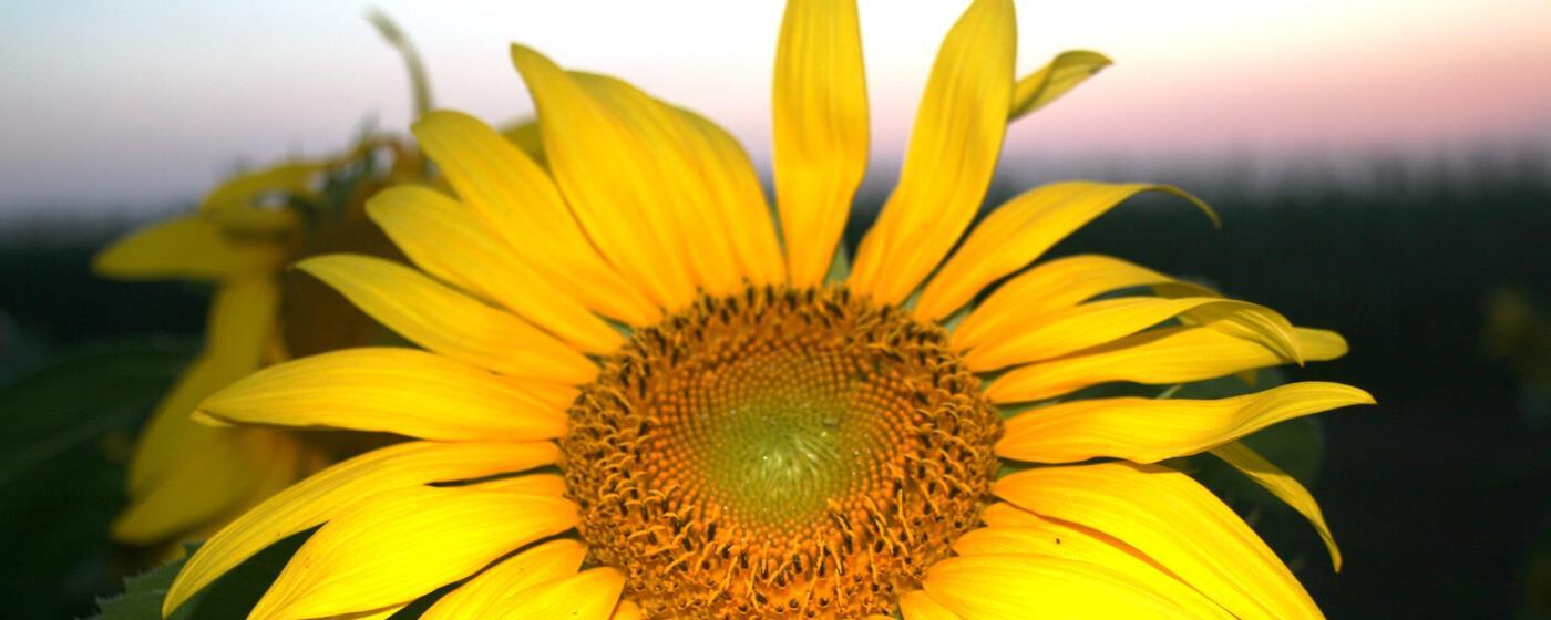 national sunflower association home, Beautiful flower
