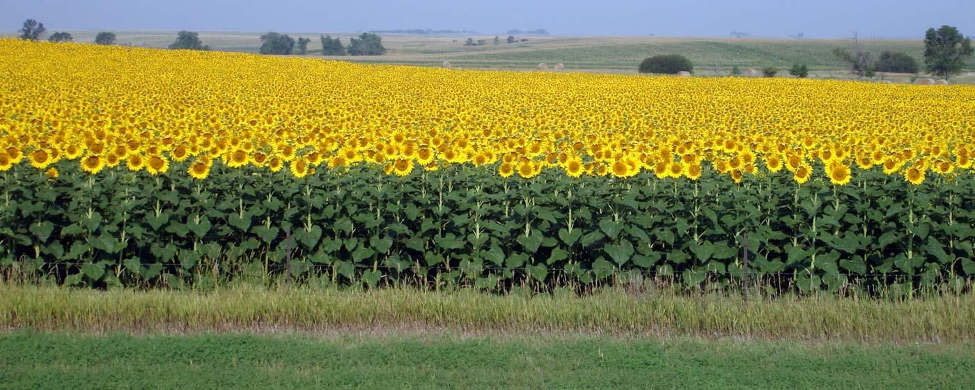 sunflower field picture blooming - photo #39